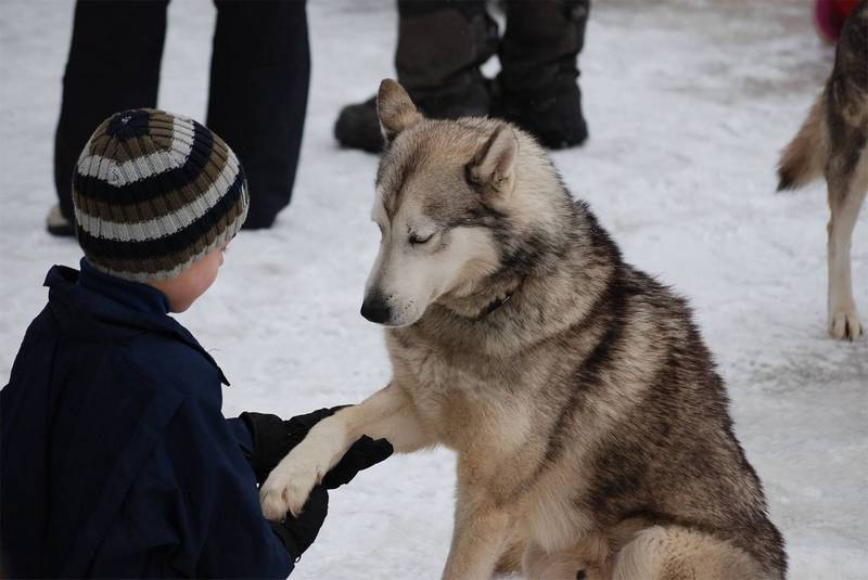 chien de traineau mignon enfant
